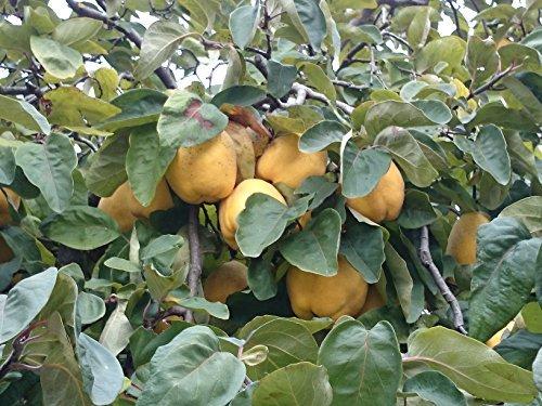 Portugiesische Birnenquitte, Quittenbaum Halbstamm, Cydonia oblonga, Obstbaum winterhart, Quitte gelb, im Topf, 150 - 180 cm