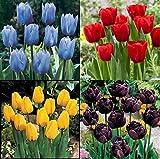 Bulbos Tulipán,Tulipan Bulbos,Exótico,Planta Rara,Los Tulipanes Son Gran Valor-10 Bulbos