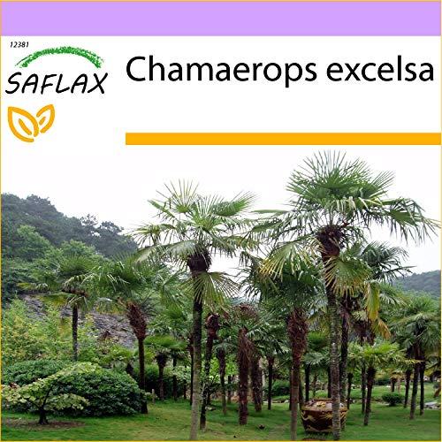 SAFLAX - Palmier à chanvre - 10 graines - Chamaerops excelsa
