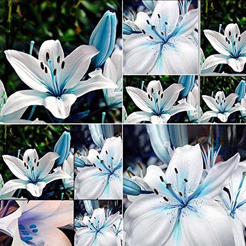Rosepoem 50 Pcs Bleu Rare Lily Ampoules Graines Plantation Lilium Fleur Maison Jardin Décor