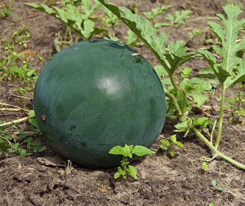 Bush Sugar Baby Wassermelone