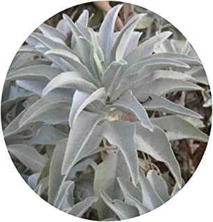 Best white sage plant Reviews