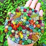 ADOLENB Garten Samen - Lithops Cactus Blend Seeds, Gartenarbeit, Kaktusblumensamen