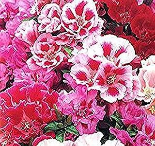 4 Packs x 3000 AZALEA DOUBLE MIX CLARKIA GODETIA - AZALEA DOUBLE MIX - Flower Seeds - Clarkia amoena 12-24
