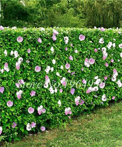 Shopmeeko Graines: Nouvelle arrivée 100 particules/Sac géant Hibiscus Rare Bonsaï d'extérieur Diy jardin Jardin en pot ou plantes à fleurs: 4