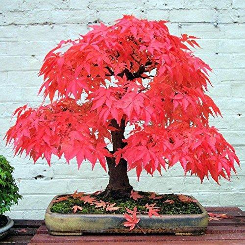 Wongfon 20 Graines/Paquet Graines D'érable Japonais, Bonsaï Érable Rouge Graines Jardin Balcon Vivaces Plantes Beautifying