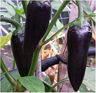 Chili Black Hungarian - Pepper Black Hungarian - 30 Seeds