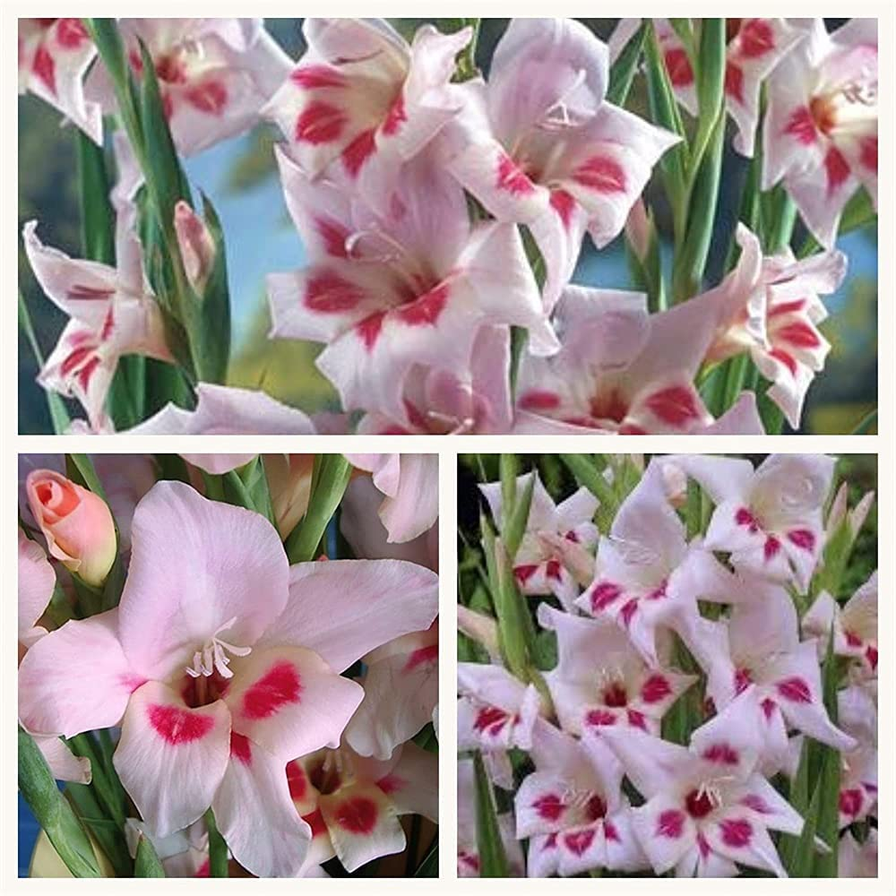 Gladiolus-Summer Flowers Limited Special Price Living Room Dedication decoration-30Bulbs