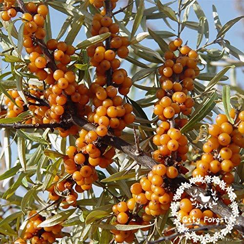 Bonsai Pflanze SANDDORN - Hippophae rhamnoides Obstbaumsamen 50pcs