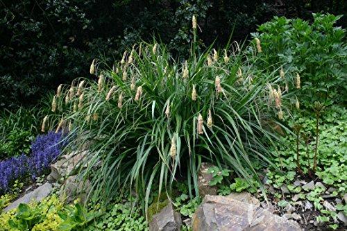 Carex pendula 1 Liter (Ziergras/Gräser/Stauden) Riesen Segge