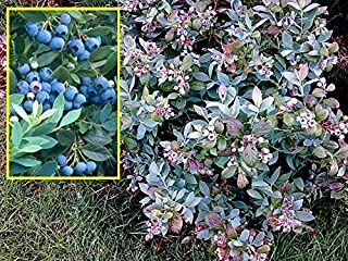 Mini Garden VACCINIUM 'SUNSHINE BLUE' - SOUTHERN HIGHBUSH BLUEBERRY -PLANT -APPROX 7-10 INCH