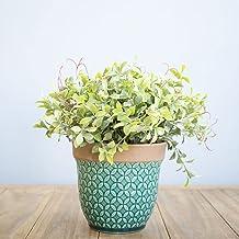 Arranjo de Flor Artificial Peperômia no Vaso de Cerâmica Azul Turquesa   Linha Permanente Formosinha