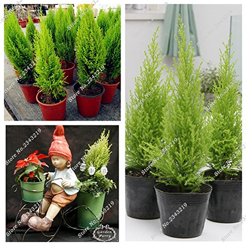 Graines rares Pin Epicéa Arbre en pot Bonsai Cour Terrasse Jardin Fournitures Arbre Picea Air 40 Pcs purifiant