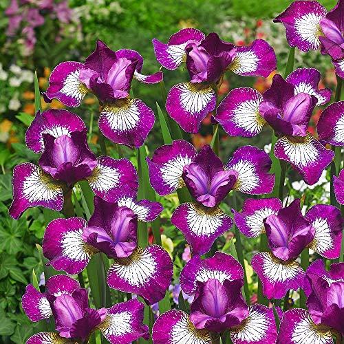 1x Iris rhizom Gartenblumen Sibirisch schwertlilie Blumen winterhart mehrjährig Iris pflanze Sibirica Currier