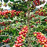 Hirt's Arabica Coffee Bean Plant - 3' Pot - Grow & Brew Your Own Coffee Beans