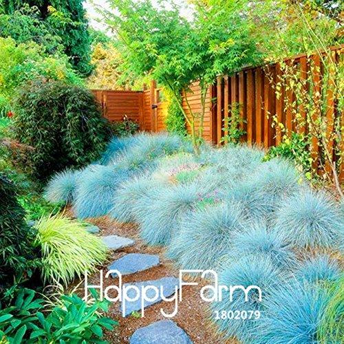 Vente Hot 100 pièces / lot bleu fétuque Seeds -! (Festuca glauca) vivace herbe ornementale hardy si facile à cultiver, # 7YN2B5