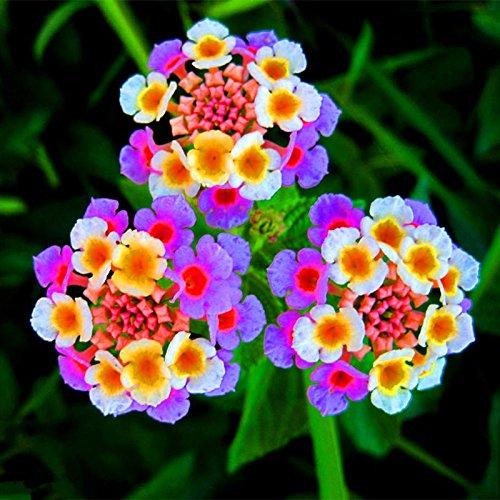 Nuovo arrivo !!! 100 pc/lotto Lantana camara semi di fiori, Rare pianta erbacea perenne Splendida Bonsai impianto per il giardino domestico di seme in vaso 6