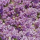 Kölle Bio Polsterthymian 'Purple Beauty', Purpurrot, 3er-Set, je 9 cm Topf