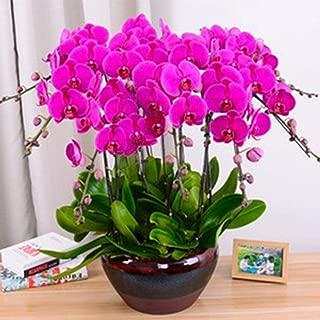 100Pcs Orchid Seeds Flower Plant Home Office Ornament Garden Window Bonsai Decor for Home Use - Purple