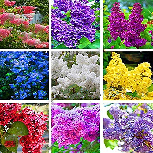 Light Purple 100pcs Japanese Lilac Tree Seeds 12 Colors Rare viable Bonsai Trees Decor Home Mix
