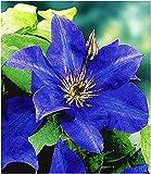 BALDUR Garten Blaue Clematis 'The President' Waldrebe winterhart, 1 Pflanze Klematis mehrjährige blühende Kletterpflanzen