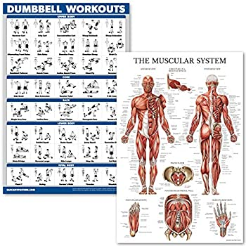 QuickFit Dumbell Workouts and Muscular System Anatomy Poster Set - Laminated 2 Chart Set - Dumbbell Exercise Routine & Muscle Anatomy Diagram  Laminated 18  x 27