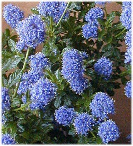 immergrüne Säckelblume Ceanothus impressus Victoria 40-60 cm hoch im 3 Liter Pflanzcontainer