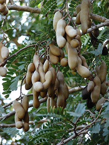 Süße Tamarinde Tamarindus indica Pflanze 15-20cm indische Dattel Tamarindenbaum
