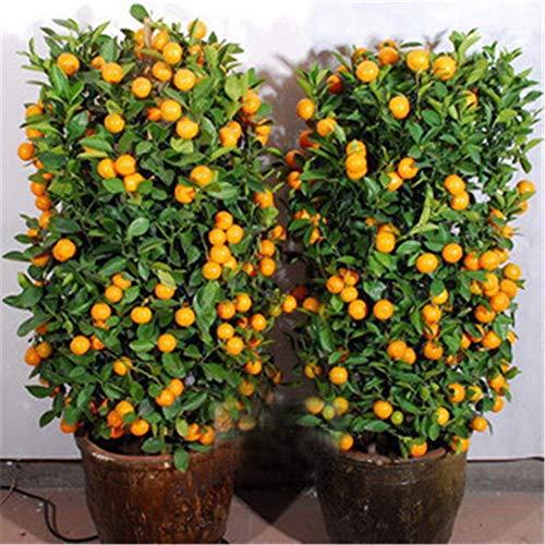 CFPacrobaticS 30 Stück Essbare Früchte Mandarine Zitrus Orange Bonsai Baum Samen Leicht Wachsen, Home Farm Hof Pflanzen, Dekoration Garten Geschenke