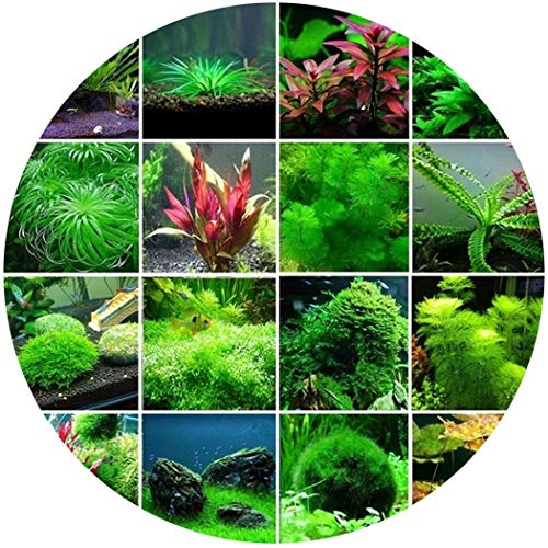 swiftt 300 Samen Wasserpflanzen Samen Wassergras Samen Mixed Aquarium Gras Samen