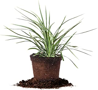 Best aztec lily turf Reviews