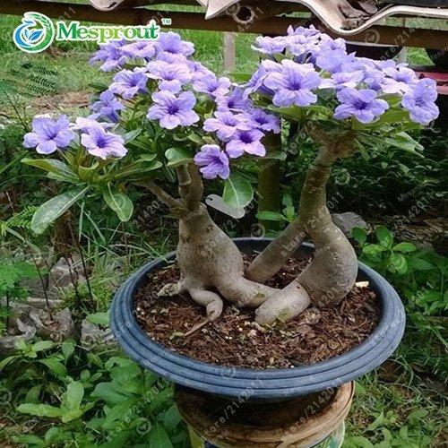 2pcs / sac Desert Rose graines, Adenium obesum Graines pétales doubles fleurs bonsaï Seeds 100% vraie semence plante en pot pour la maison jardin