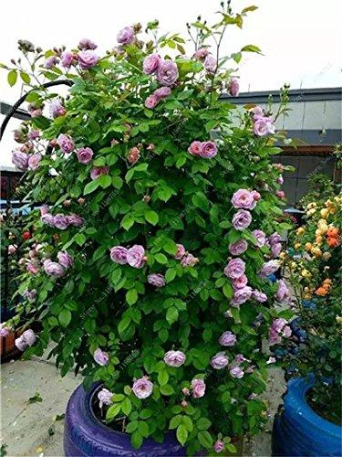 Mixed Seeds Rose, 200 Pcs Rare Bonsai Fleurs Rose, mélanger les couleurs Croissance naturelle Plante en pot pour le jardin Suppies Représentant Amour 16