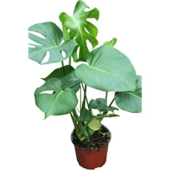 Indoor Plant -House or Office Plant -Monstera deliciosa - Swiss Cheese Plant Approx 45cm Tall