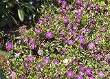 Vinca minor 'Rubra' Rotblühendes Immergrün Bodendecker mit roten Blüten im Topf gewachsen (10 Stück)