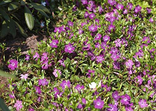 Vinca minor 'Rubra' Rotblühendes Immergrün Bodendecker mit roten Blüten im Topf gewachsen (1 Stück)