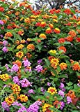 """Lantana Camara Flowers – Two (2) Live Plants – Not Seeds - Natural Mosquito Garden - Attract Hummingbirds & Butterflies - Each 3"""" to 7"""" Tall in 4 inch Pots - Assorted Colors - Premium Plants"""