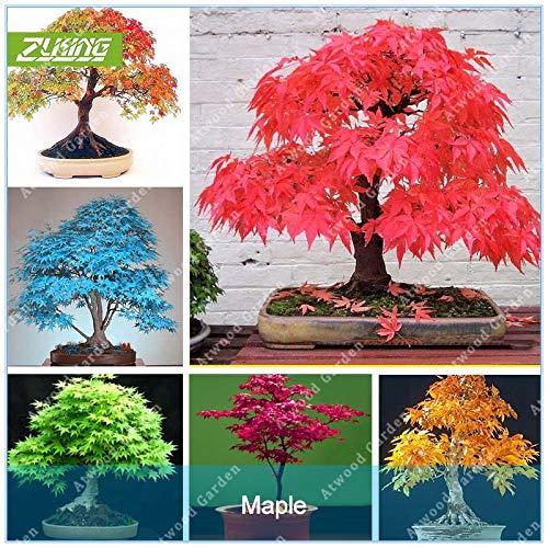 HONIC 20 Stück Blaue Feuer Ahorn Bonsai-Baum Rare Gelb Rot Japanischer Ahorn Pflanzen für Hausgarten-Blumen: Lila