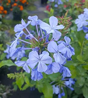Best plumbago plants for sale Reviews