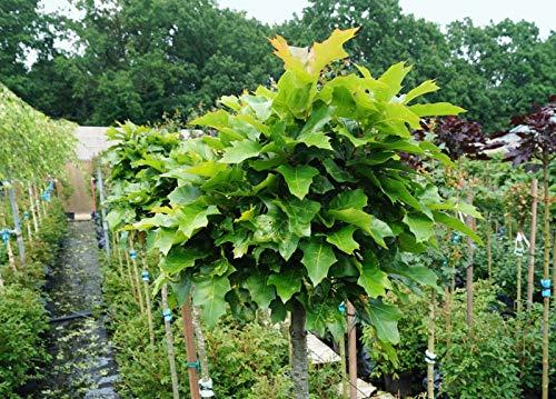 Sumpf-Eiche Green Dwarf - Quercus palustris Green Dwarf - Hochstamm - Stammumfang 10-12 cm - Containerware - Garten von Ehren®