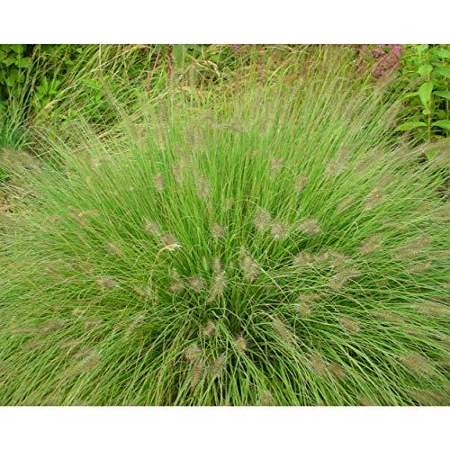 Blumixx Stauden Pennisetum alopecuroides...