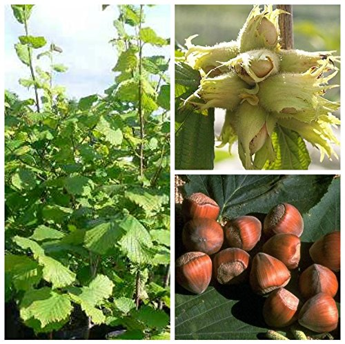 Grüner Garten Shop Webbs Preisnuss 3-jähriger Haselnussstrauch Fruchtstand häufig mit 10 Nüssen 120-150 cm 7,5 Liter Topf