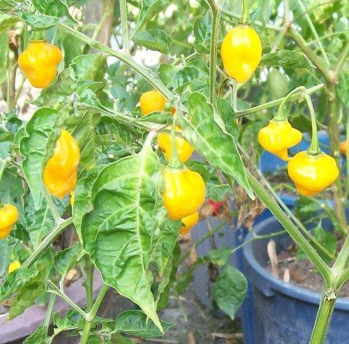 Habanero Scotch Bonnet orange - 20 Chilisamen - extrem scharfes Chili -
