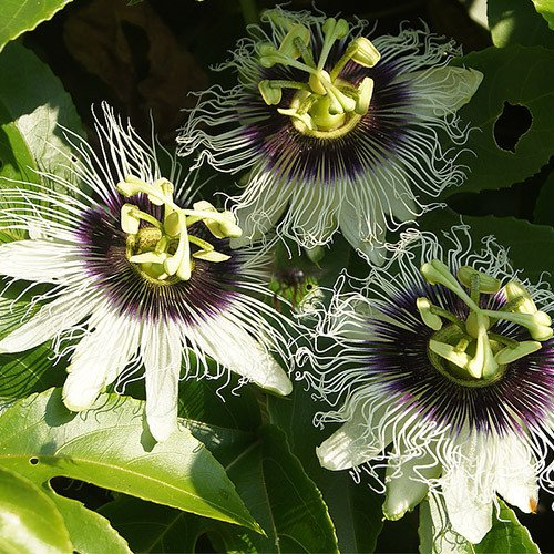 Plant World Seeds - Passiflora Edulis Var. Flavicarpa Seeds