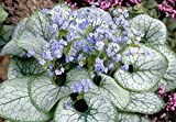 1 x Brunnera macrophylla 'Jack Frost' (Kaukasus Vergissmeinnicht)