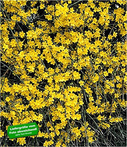 BALDUR-Garten Echter Winter-Jasmin, 1 Pflanze, Jasminum nudiflorum