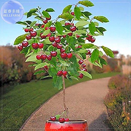 Pinkdose® 2018 heißer Verkauf Davitu Zwerg Kirschbaum selbst- fruchtbaren Obstbaum Bonsai Samen, 10 Samen, professionelle Pack, riesige dunkelrote süße Früchte