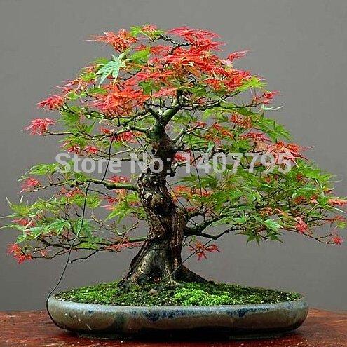 30 japonais érable rouge arbre graines, plantes bricolage bonsaï