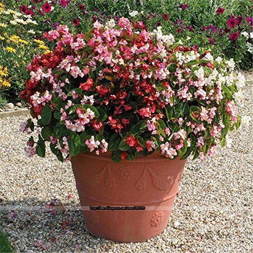 Nouveaux 3 Paquet / 300pcs Gardenia Graines DIY Décoration pot Bonsai étonnants Smell Belles rares graines de fleurs Flores Sementes