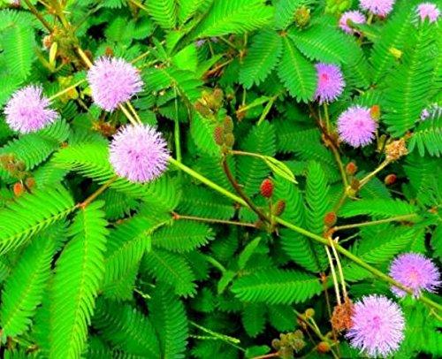 Les ventes chaudes! 100pcs Graines Mimosa Pudica Linn, feuillage Mimosa Pudica Sensible Bonsai plante jardin Livraison gratuite 6